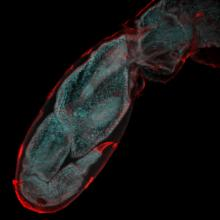 Watching limb regeneration in Parhyale hawaiensis image (Source: eLIFE)